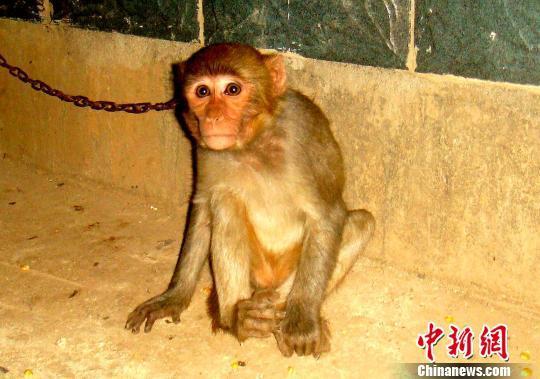 """云南男子嫌""""宠物""""猕猴吵闹 网上售卖被捕"""
