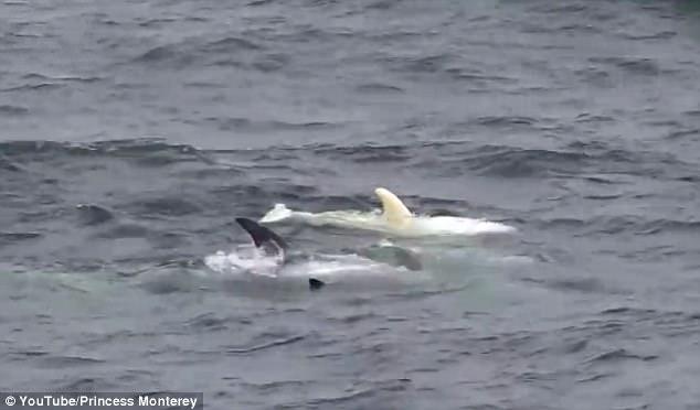 美加州海岸现罕见白化海豚 与正常海豚同游