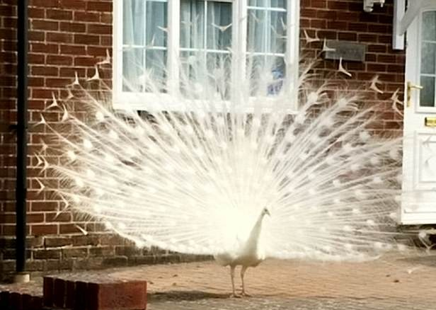 英国一村庄现白孔雀 昼夜扰民被送到救助所